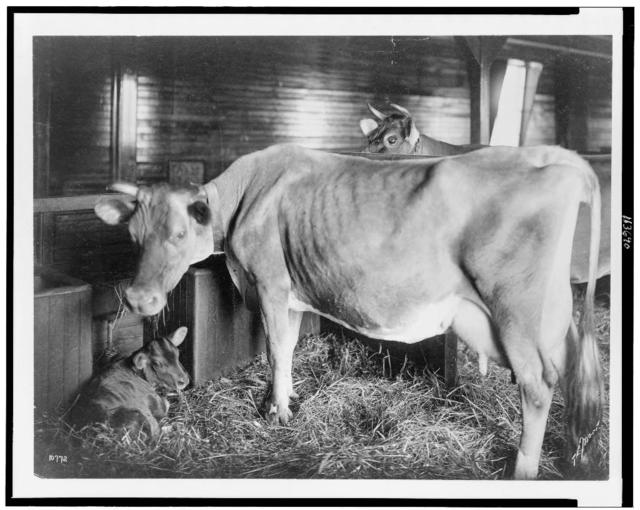 [Two cows and calf in barn] / T.E. Marr.