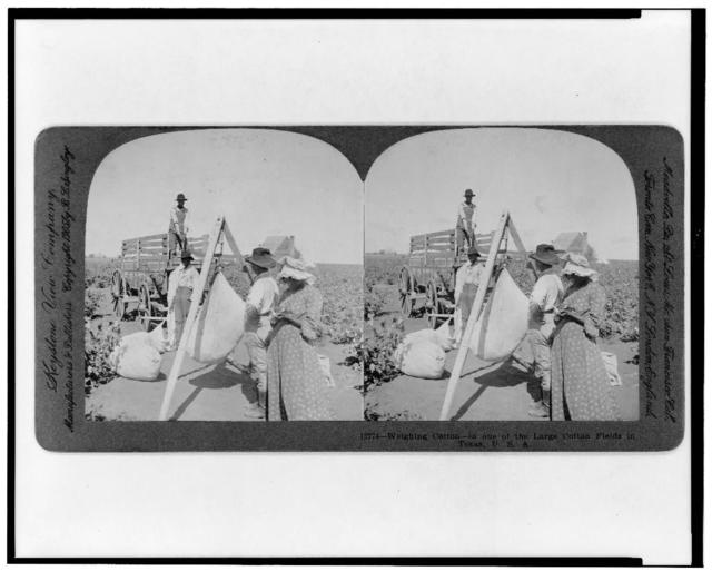 Weighing cotton--in one of the large cotton fields in Texas, U.S.A.