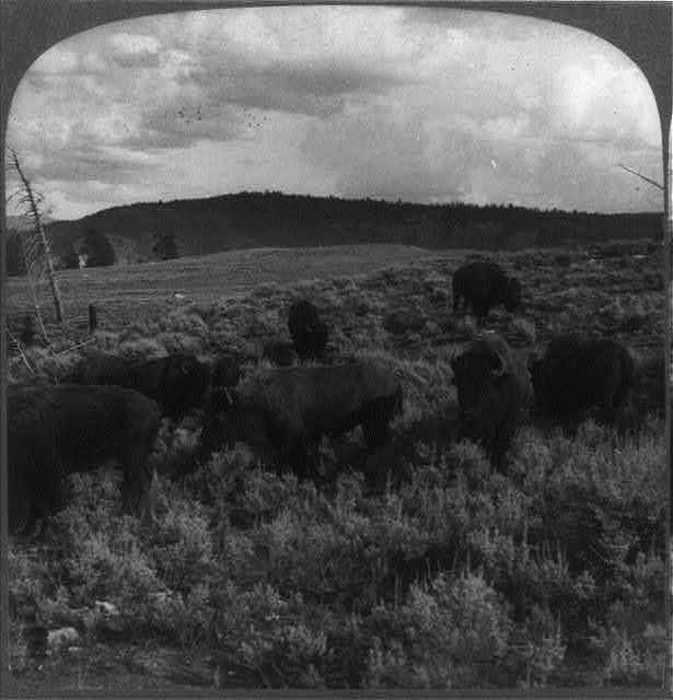 """Wild buffalo, one of America's """"first families,"""" at home on a sunny slope, Yellowstone Park, U.S.A."""