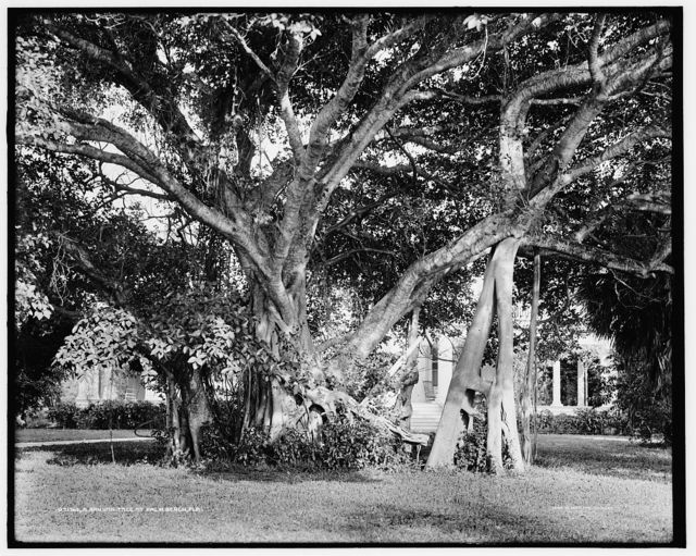 A Banyan tree at Palm Beach, Fla.