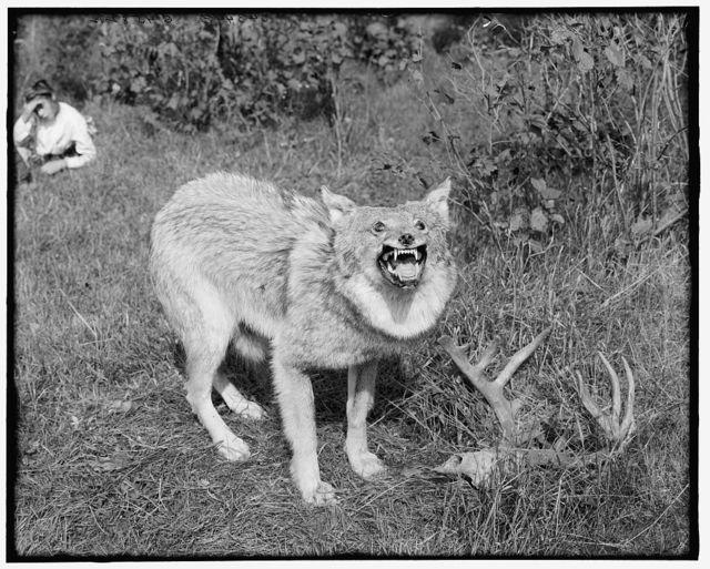 [A Northern Michigan timber wolf, Sault Sainte Marie]