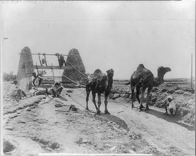[Camels drawing water from well for irrigation. 1905. Egypt]