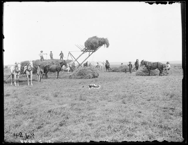 C.B. Reynolds, alfalfa scene on the Watson Ranch, Buffalo County, Nebraska.