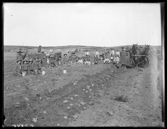 Kearney Industrial School boys working in a potato field, Kearney, Nebraska.