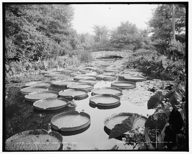 Lily pond, Como Park, St. Paul, Minn.