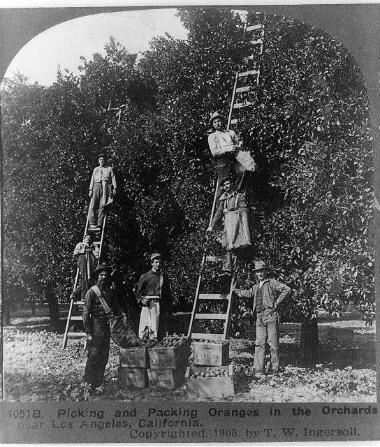 Picking and packing oranges in the orchards, near Los Angeles, California