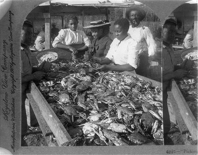Picking crabs for market, on banks of Chesapeake Bay, Md., U.S.A.