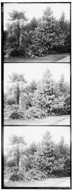 Pinus Excelsa. Hamerops excelsus v Botanicheskom sadu v Sukhumi︠e︡