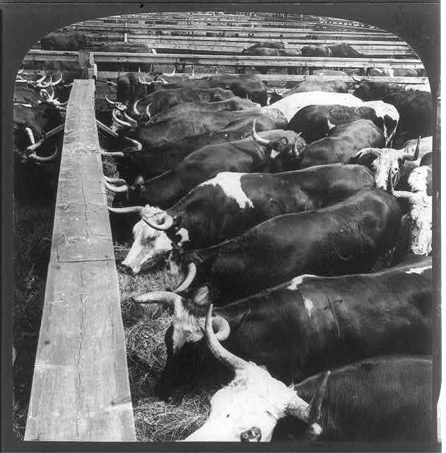 A lot of sleek steers - food for all continents, Stock Yards, Chicago