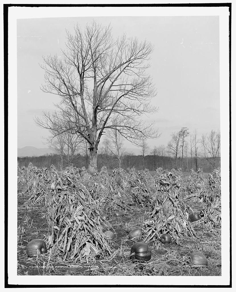 Corn and pumpkins, Berkshire Hills, Mass.
