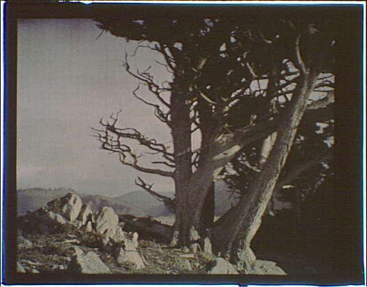 Cypress trees in the Carmel, California area