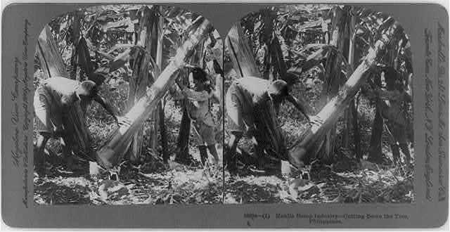 Manila hemp industry, Philippines: cutting down the tree