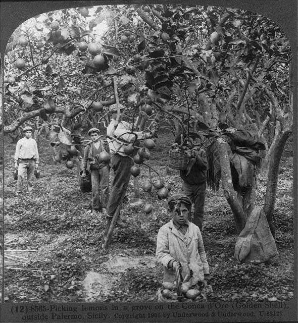 Picking lemons in a grove on the Conca d'Oro (Golden Shell), outside Palermo, Sicily