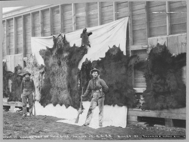 Skins of animals killed on Show River [i.e. Snow River] on line of A.C.R.R.
