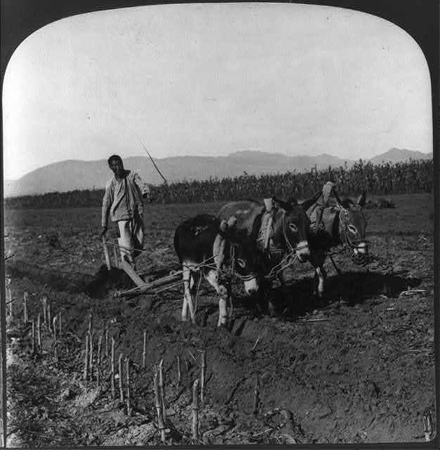 A Chinese farmer turning the soil with a wooden plow drawn by donkeys