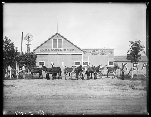 Holt & Sons Mule Company, home of the big Kentucky Jacks, Kearney, Buffalo County, Nebraska