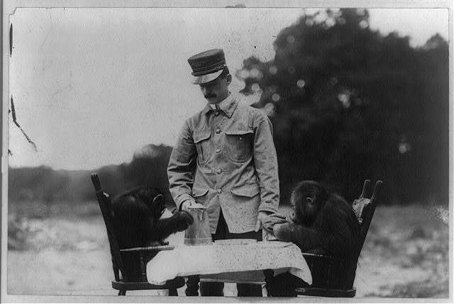 [Keeper with two chimpanzees eating at table]