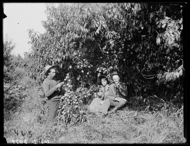 N. C. Dunlap picking peaches on Watson Ranch, his friends nearby interested in sampling the fruit