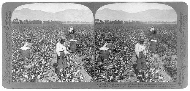 Picking cotton with Chinese labor on irrigated land at the foot of the Andes, Vitarte, Peru