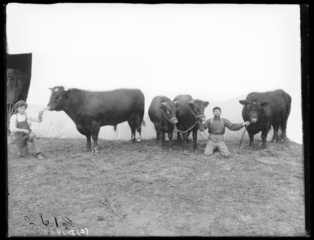 Red Durham stock bulls on the Facer Ranch,  near Odessa, Buffalo County, Nebraska.