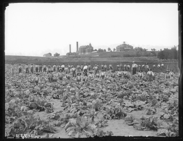 Cauliflower field, State Industrial School, Kearney, Nebraska