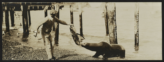 Chappie feeding the seals, Catalina Island / Lester Clement Barton.
