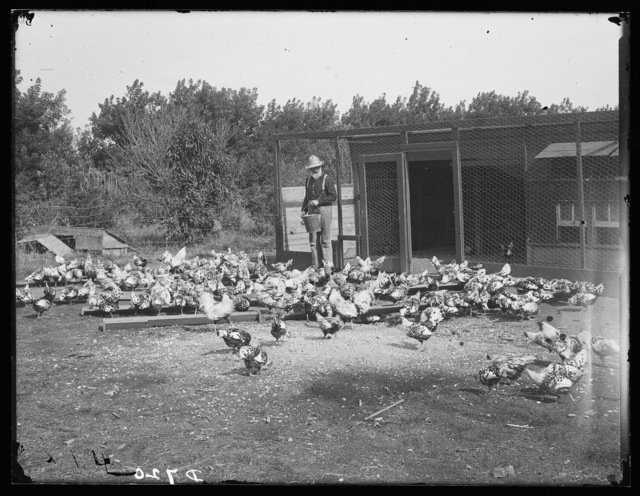 Col. Brown feeding his thoroughbred chickens on his ranch one mile north of  Kearny, Nebraska.