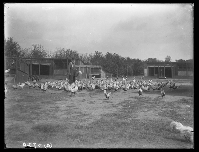 Col. Brown's thoroughbred chickens, one mile north of Kearney, Nebraska.