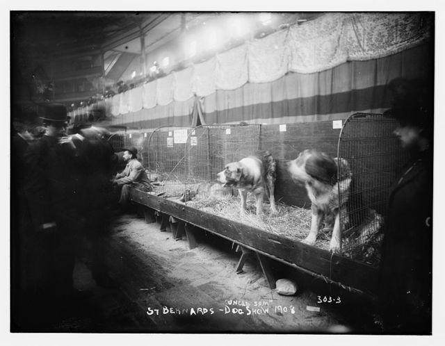 """Dog Show 1908: St. Bernards, """"Uncle Sam"""""""