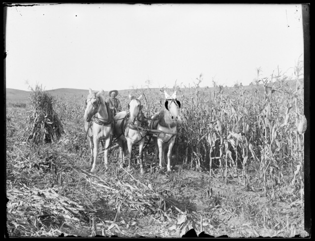 George Griffith in his cornfield with a team of horses, South Loup, Buffalo County, Nebraska