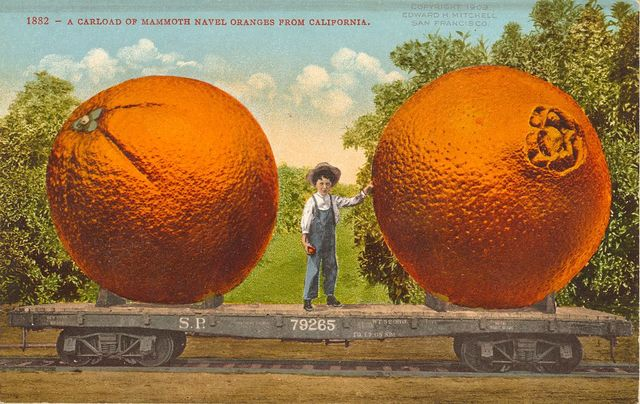 A carload of mammoth navel oranges from California