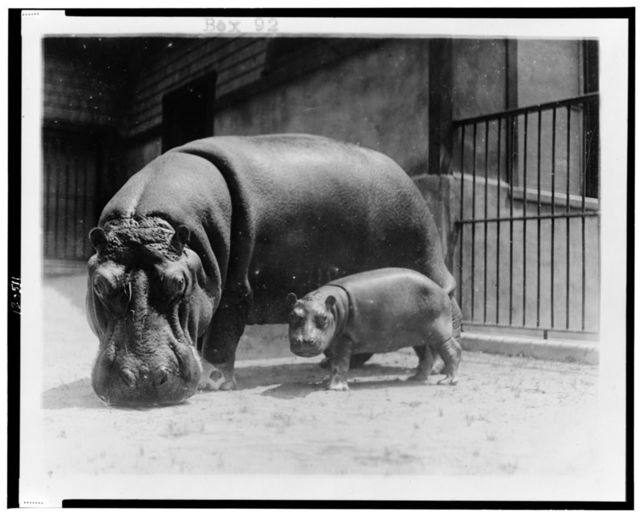 [An adult and baby hippopotamus at the National Zoo, Washington, D.C.]