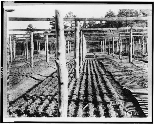 [Bed of one-year-old yellow pine trees, Mount Herman Nursery, Pike National Forest, El Paso County, Colorado]