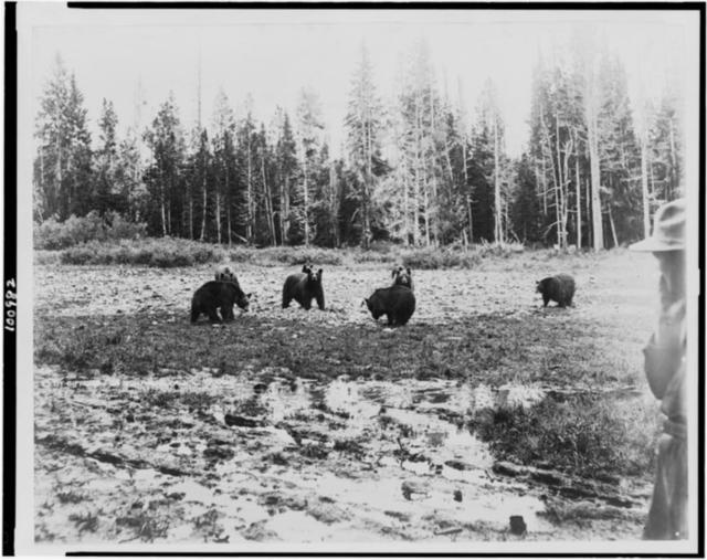 [Eight bears near the Lake Hotel, Yellowstone National Park, reached by the Northern Pacific Railway via Gardiner Gateway]