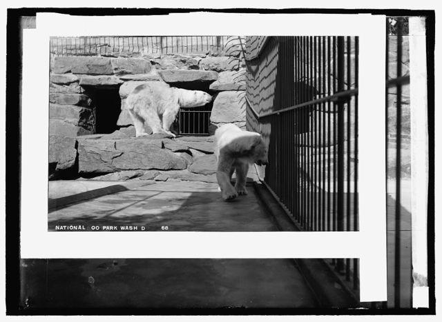 National Zoo park, Wash., D.C., polar bear