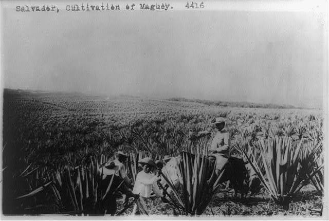 Salvador, cultivation of maguey