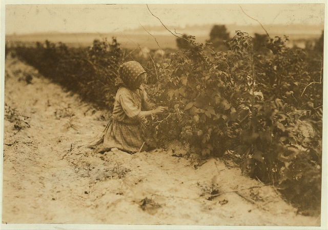 [This little six-year helper in Rock Creek berry field, near Baltimore, Md., was working hard. They begin about 4:30 A.M. and sometimes work until sunset. Her family (Scholtz) has been South--Bluffton, S.C.--for a few years. Seen in Appalachicola and Biloxi. They are Polish.]  Location: Baltimore, Maryland.