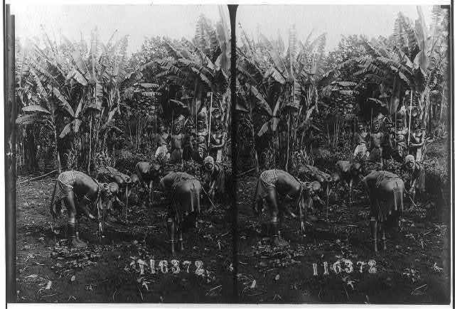 [West Africa, 1909: 5 women bending over in garden; 5 men with staffs in background]
