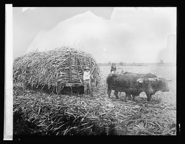 135. Hauling cane laden cars with ox-team. Peru