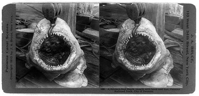 A thirteen-foot shark, caught with hook and line, Panama Railroad dock, city of Panama