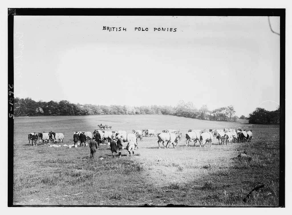 British Polo ponies