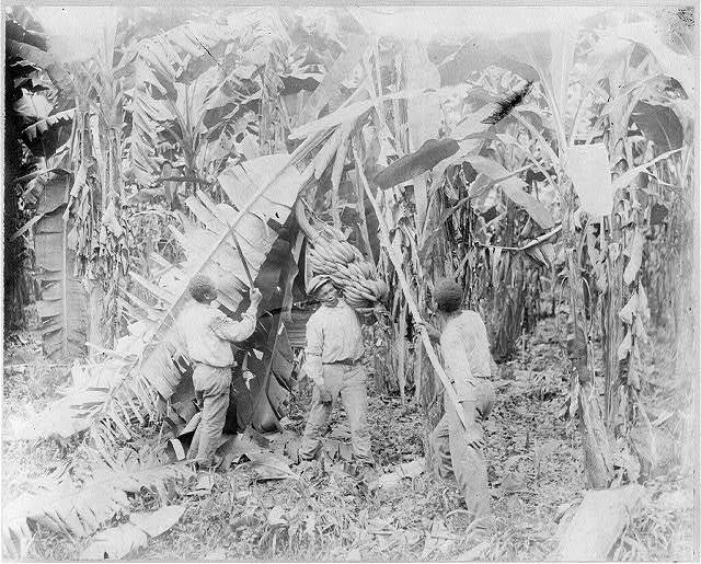 Costa Rica - workers cutting bananas from trees