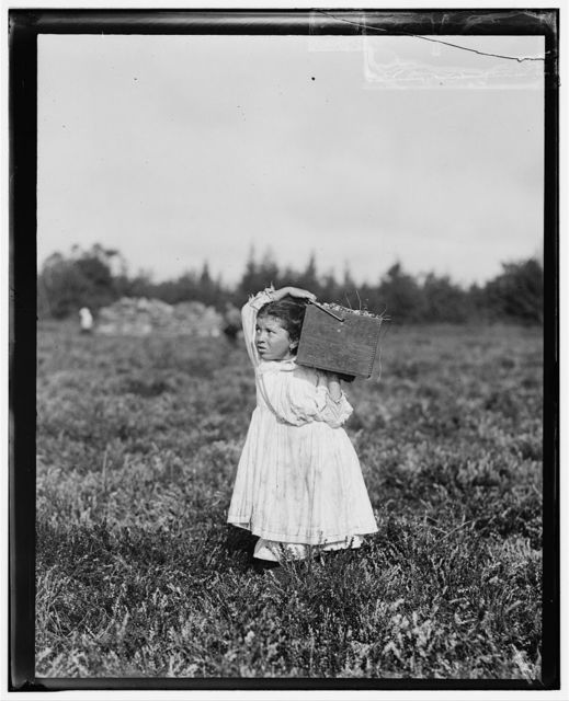 "Eight-year-old, Jennie Camillo, lives in West Maniyunk, Pa. (near Philadelphia). For this summer she has picked cranberries. This summer is at Theodore Budd's Bog at Turkeytown, near Pemberton, N.J. This is the fourth week of school in Philadelphia and these people will stay here two weeks more. Her look of distress was caused by her father's impatience [?] over her stopping in her tramp to he ""bushelman"" at our photographer's request. Witness, E.F. Brown, Sept. 27, 1910.  Location: Pemberton, New Jersey / Photo by Lewis W. Hine."