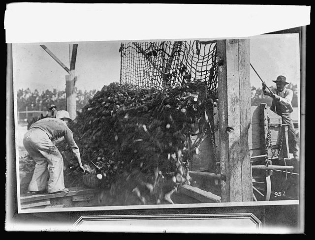 Food Adm. sugar, unloading beets from wagons, Oxnard, [California], factory