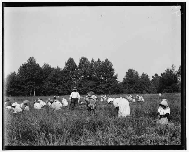 General view of Forsythe's Bog, Turkeytown, near Pemberton, N.J. with Padrone. Sept. 29, 1910. Witness, E. F. Brown.  Location: Pemberton, New Jersey / Photo by Lewis W. Hine.