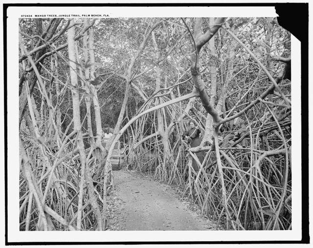 Mango [sic] trees on the jungle trail, Palm Beach, Fla.