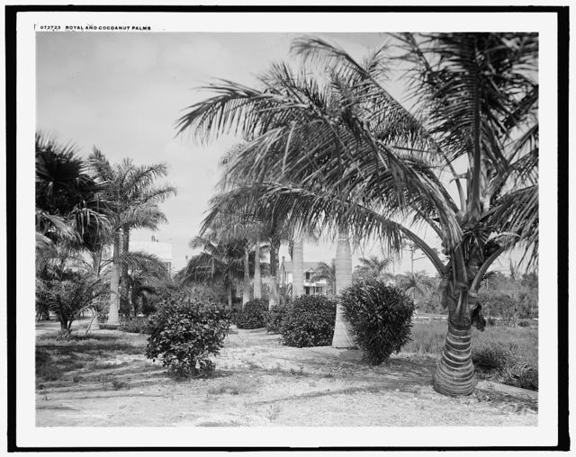 Royal and cocoanut palms