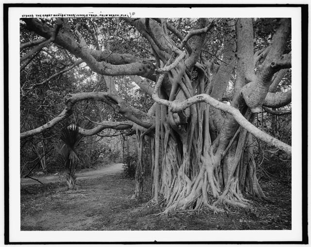 The Great banyon [i.e. banyan] tree, jungle trail, Palm Beach, Fla.