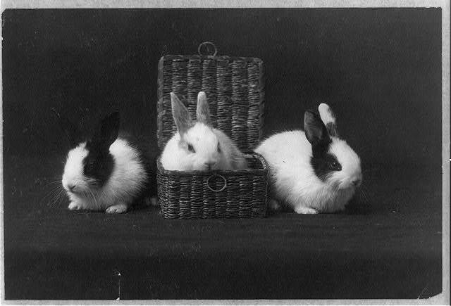 [Three rabbits, one of them in a basket]