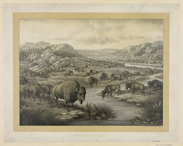 Buffaloes at rest